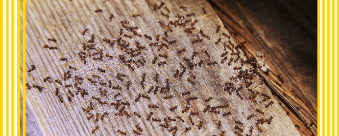Residential ant control services
